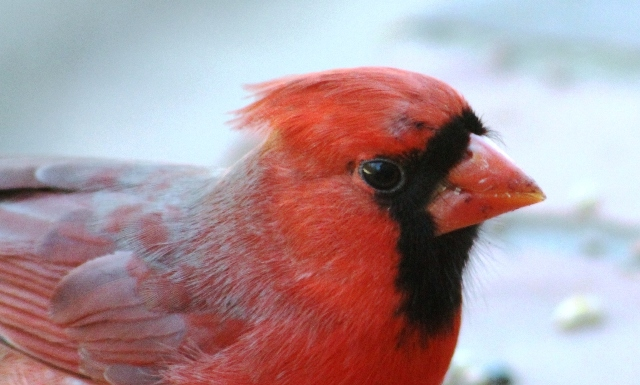 Male Cardinal, up close and personal ... Tyler, Texas