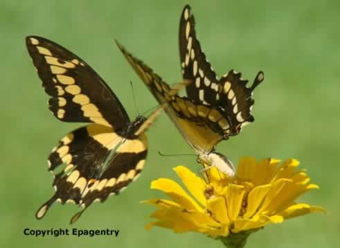 A pair of Giant Swallowtail Butterflies near Tyler Texas
