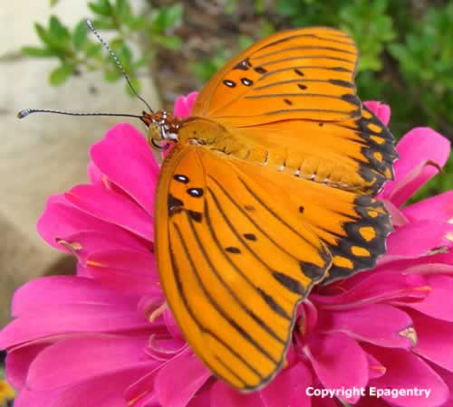 Gulf Frittilary Butterfly (wings open) on Zinnia - Tyler Texas
