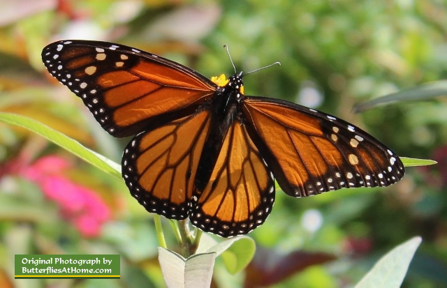 The Texas state butterfly: Monarch