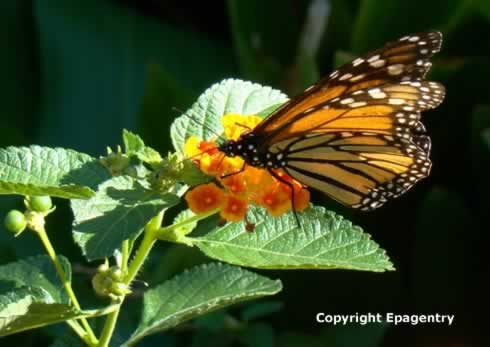 Monarch Butterfly on Lantana near Tyler Texas