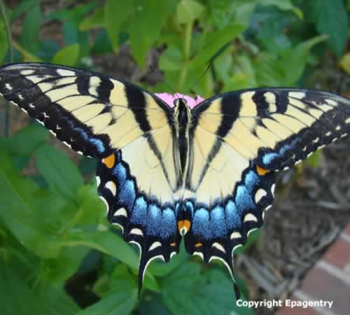 Tiger Swallowtail Butterfly near Tyler Texas