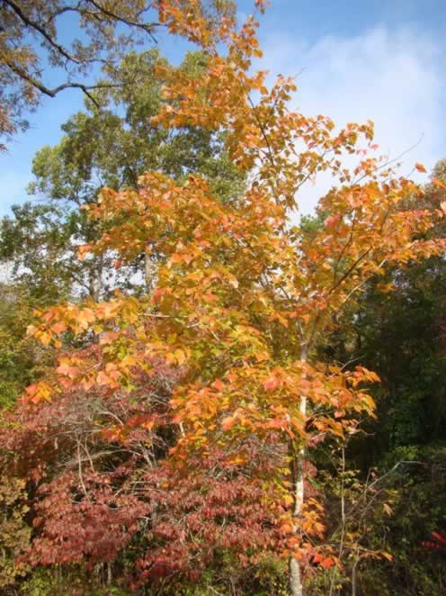 Maple tree in peak fall color near Nacogdoches Texas