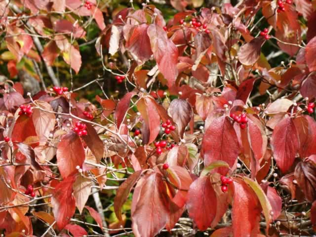 Dogwood tree at peak fall color near Palestine in East Texas