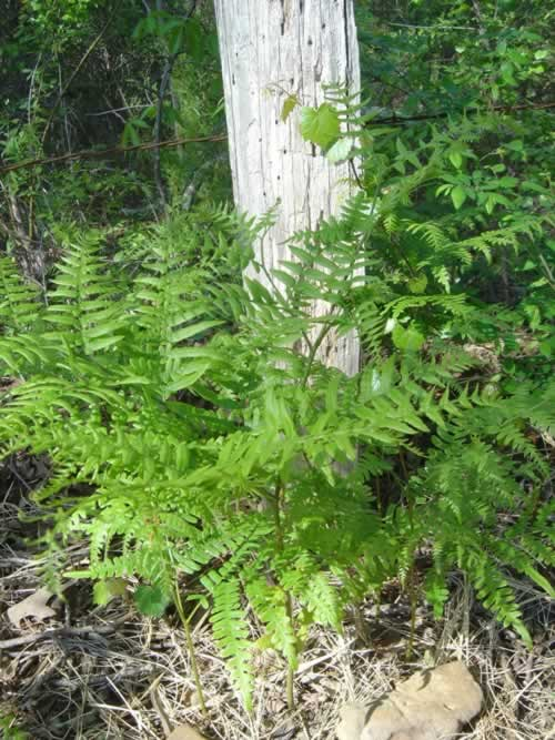 Bracken Ferns in Texas Woods