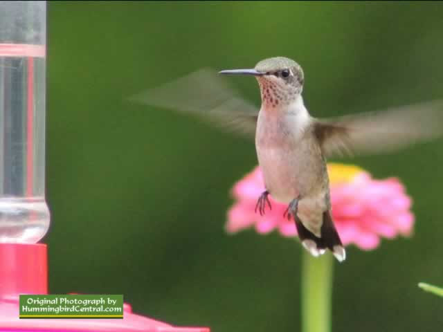 Hummingbird hovering while working a feeder in East Texas