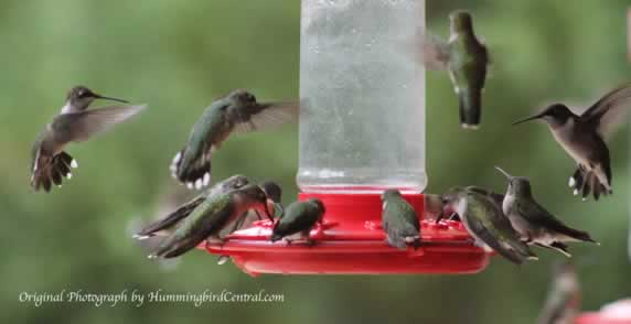 It gets crowded at the feeders in East Texas during the fall, southward migration!