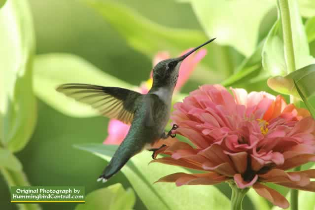 Young male Ruby Throat Hummingbird working the California Giant Zinnias in East Texas