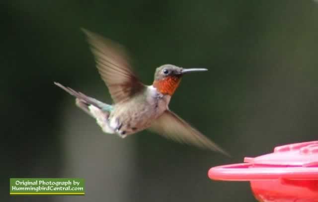 Texas Hummingbirds Hummingbird Photographs Videos