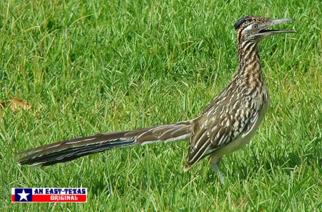 Roadrunner, up close and personal ... Longview, Texas