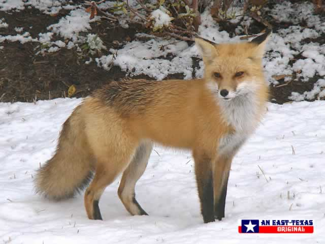 Fox in the snow in East Texas