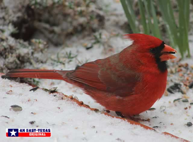 Male Cardinal in the snow in East Texas