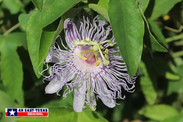 Native Texas Passion Vine ... the MayPop ... in full bloom