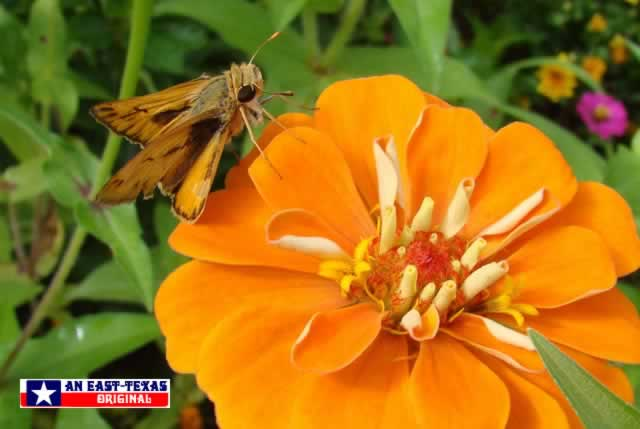 Skipper Butterflies love the color and nectar of Zinnias!