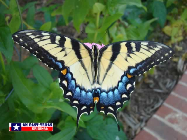 Beautiful female Tiger Swallowtail in East Texas
