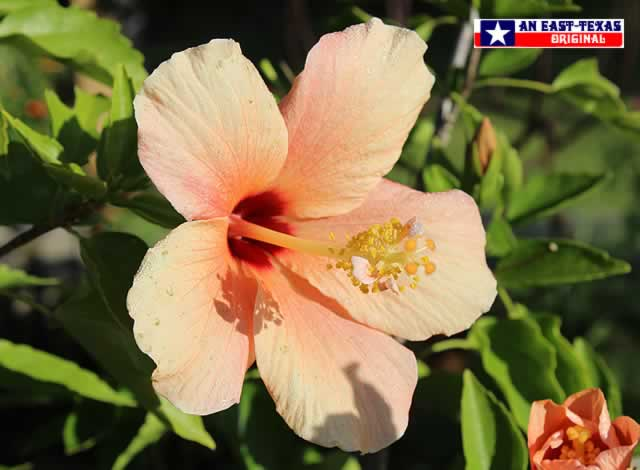 Giant Hibiscus blooms brighten up any patio in Texa