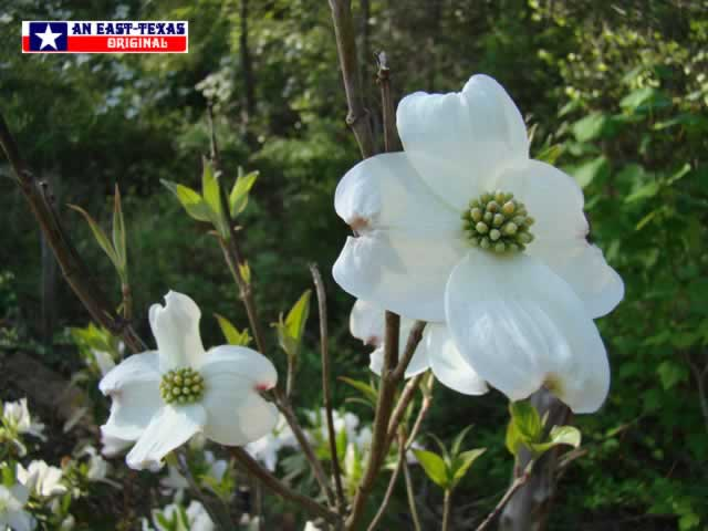 A sure sign that winter is over, and Spring has returned to East Texas ... White Dogwoods